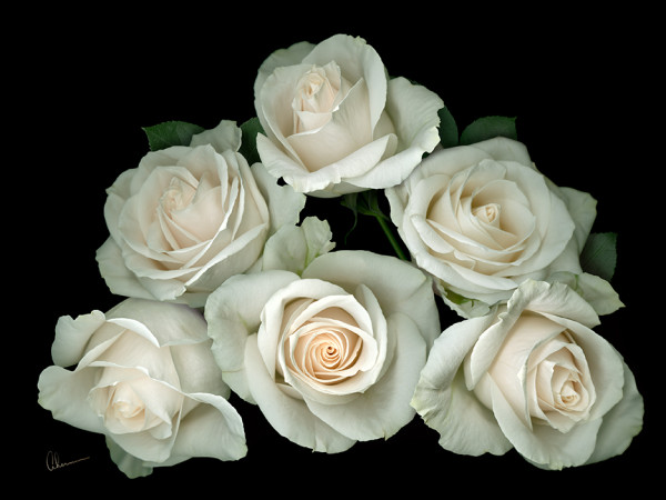 White Rose Pyramid on Black