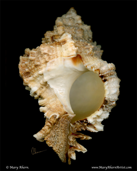 Brown Murex Shell