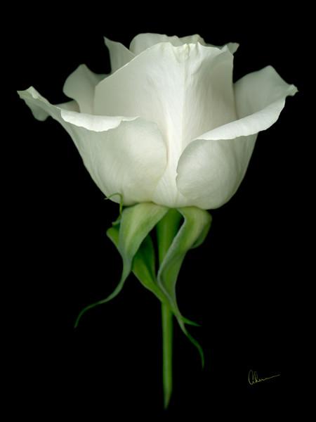 Single White Rose on Black