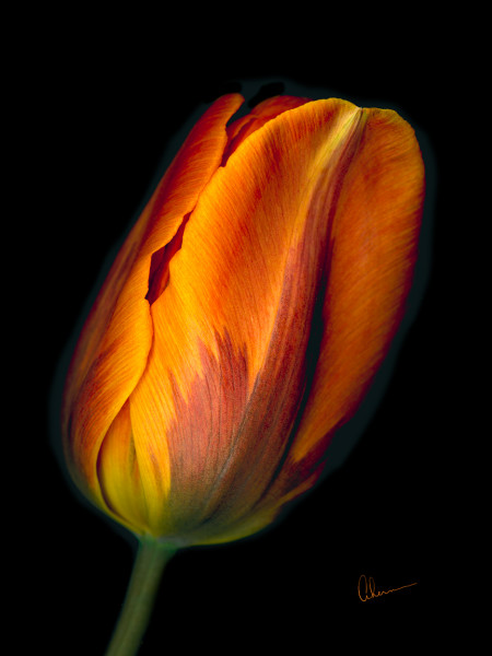 Conversation - Orange Tulip #1