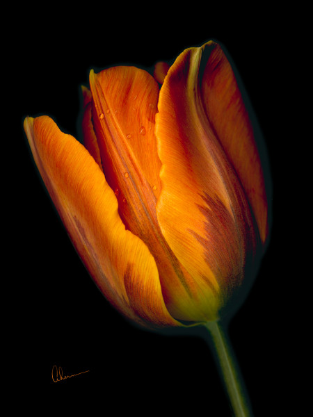 Conversation - Orange Tulip #2