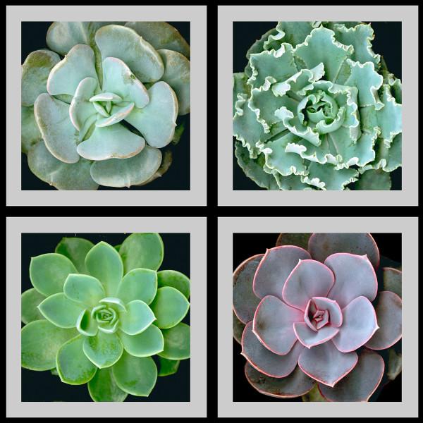 Succulents Squared