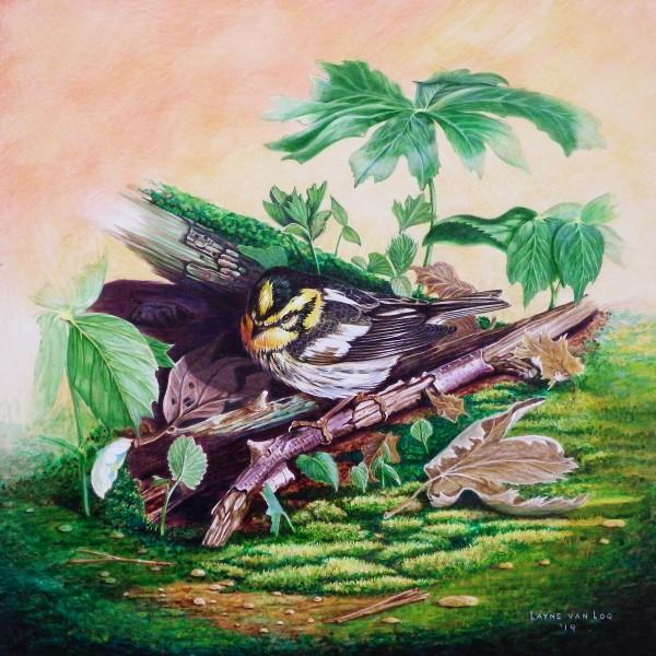 """Forest Floor Show""  Blackburnian Warbler"