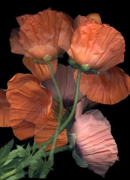 Poppies Op.1