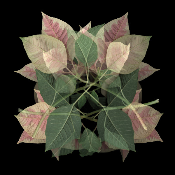 Poinsettia Op.1