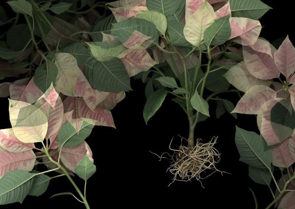 Poinsettia Op.2