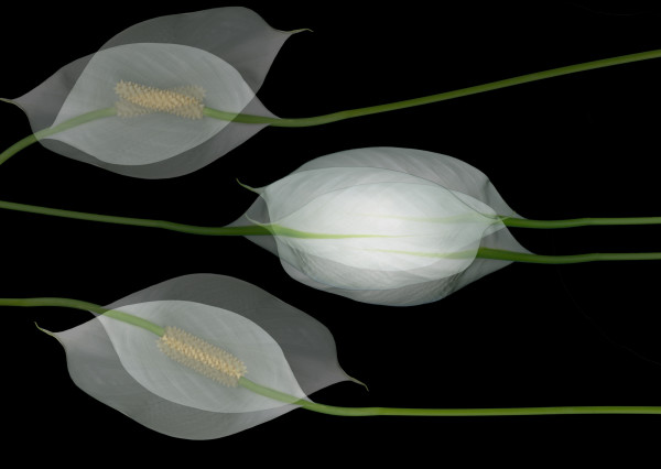 Peace Lily Op.4