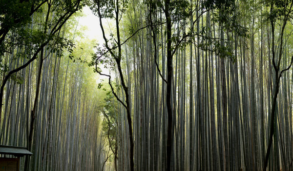 """""""Bamboo Forest"""" Kyoto, Japan"""
