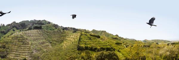 """""""Plum Farm Ravens"""" Wakayama, Japan"""