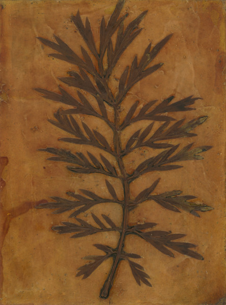 Silky Oak Leaf 2