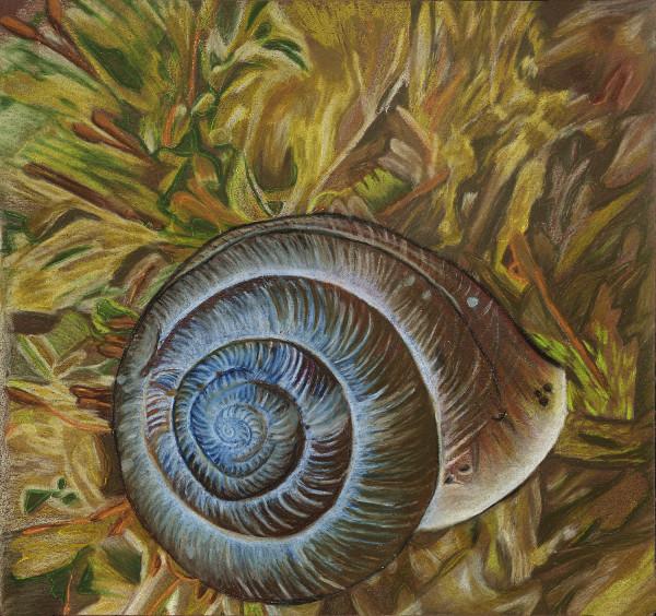 Cherrystone Drop Snail