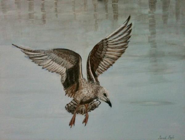 Herring Gull in Harbour