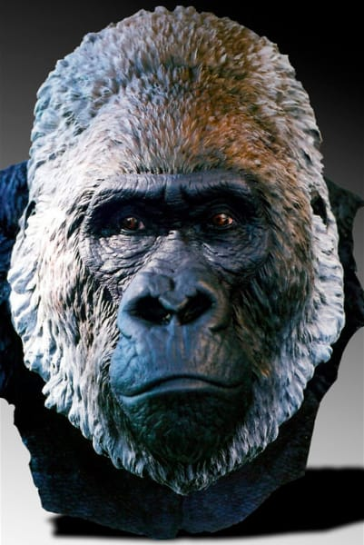 "7th Place – Overall - Bill Wieger – ""Silverback Lowland Gorilla"" – www.billwieger.com"