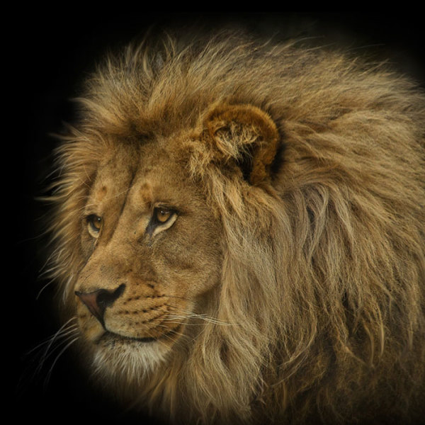 "9th Place – Lou Ann Goodrich - ""The Pride's Dominant Male"" – www.louanngoodrich-photoartist.com"