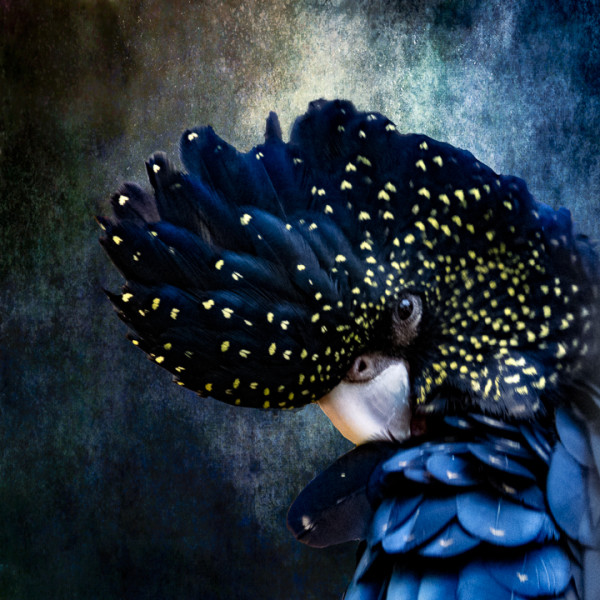 "7th Place - Christina Brunton - ""Speckled Black Cockatoo Blue"" - www.christinabrunton.com"