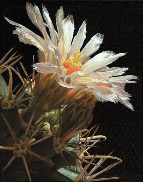 """Pima Pineapple Bloom""/Coryphantha scheeri"