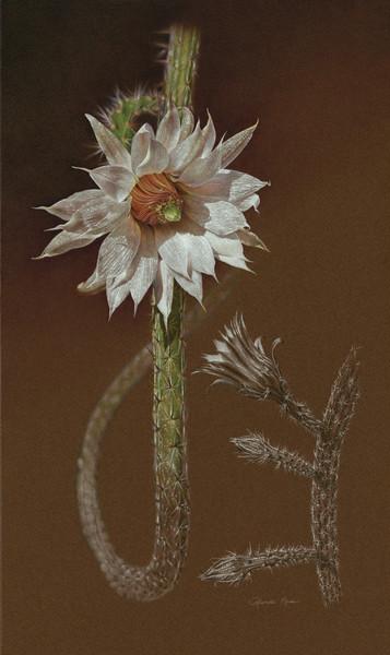 """""""Echinocereus leucanthus"""""""