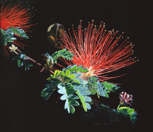 """Mimosa Fireworks""/Mimosa Calliandra haematocephala"