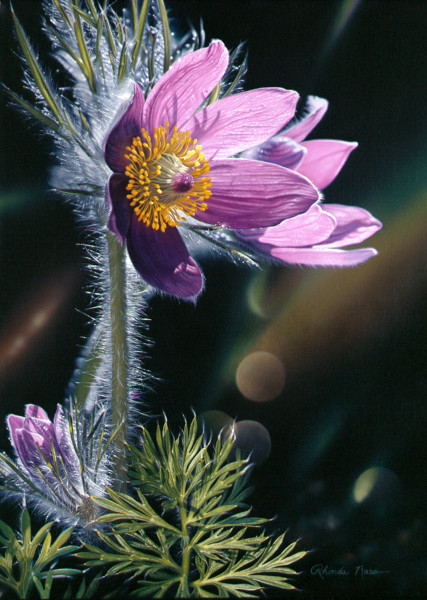"""Spring at Last""--pasqueflower"