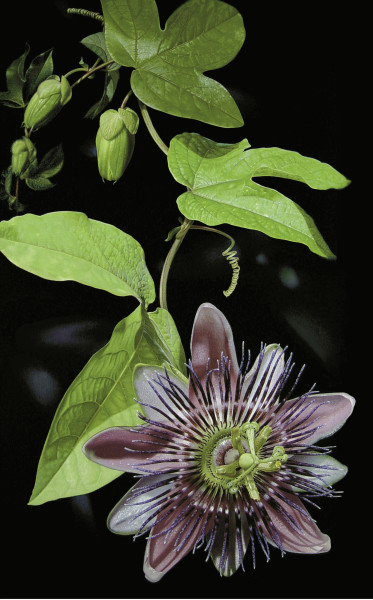 """""""Passionflower"""""""