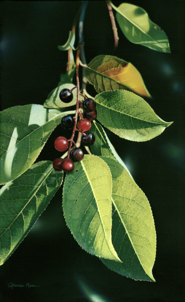 """Washington Island Chokecherry"""