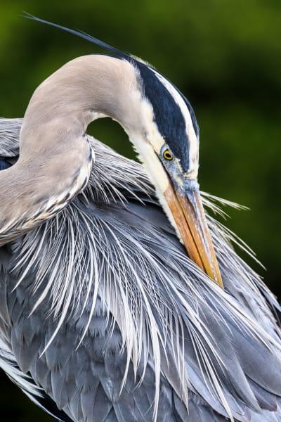 Great Blue Heron (Unframed photograph)
