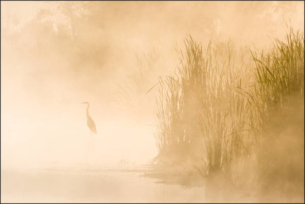 Great Blue Heron; Morning Fog & Sun