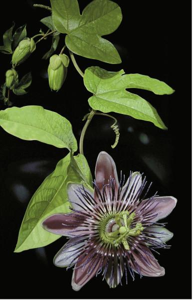 Passionflower (Unframed print)