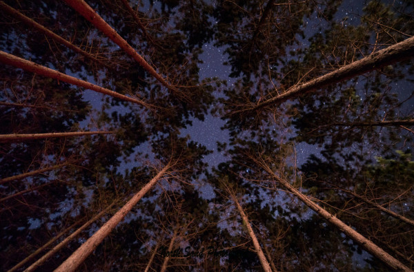 Night Pines (Unframed, Matted)