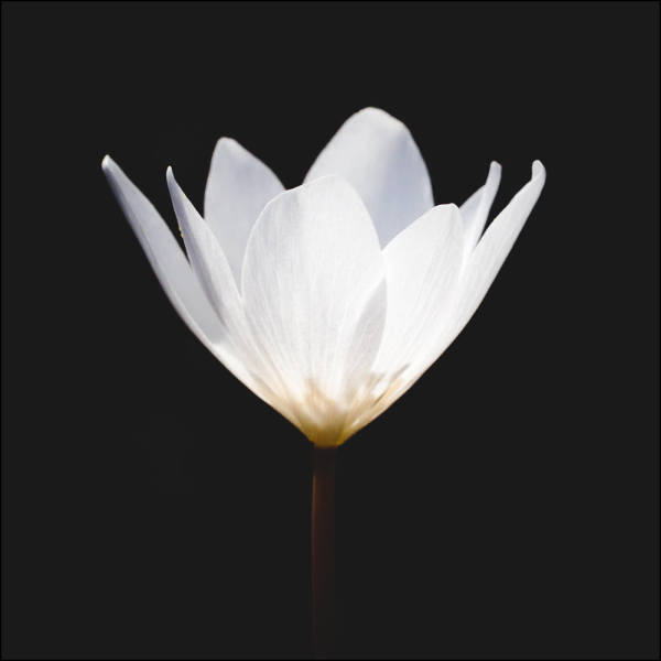 White Single Bloodroot (unframed print)