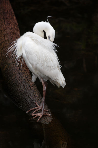 Great White Heron (Framed Photograph)