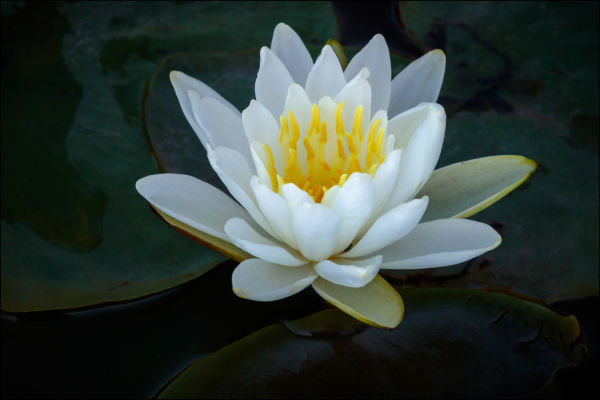 Water Lily (Framed Photograph)