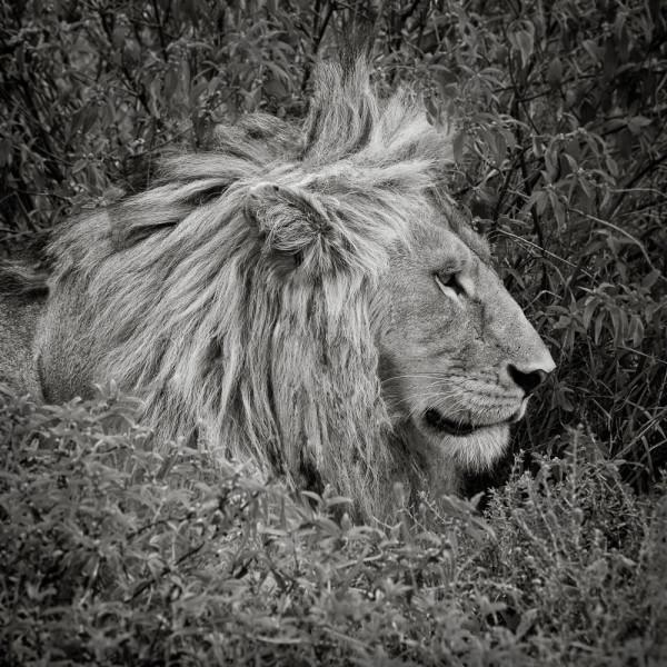 Panthera Leo I