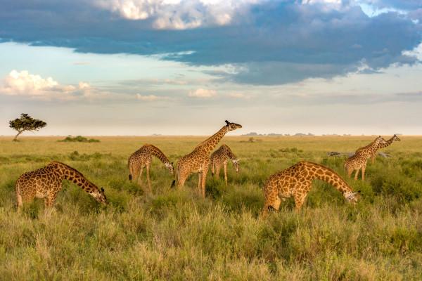 Masai Giraffes I