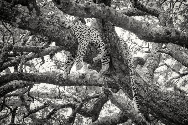 Panthera Pardus I