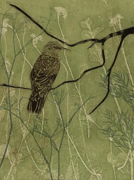 Baby wattlebird making its way