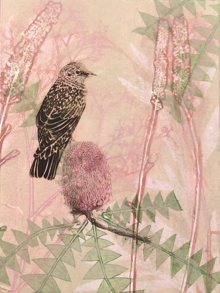 Little Wattlebird and Banksia Flower