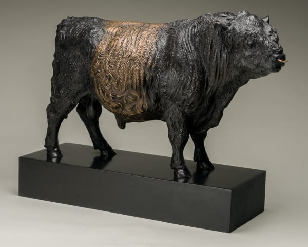 Belted Galloway Bull, Conqueror