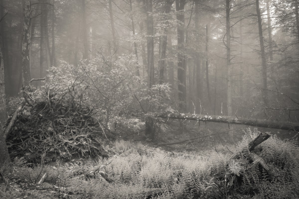 Foggy Woods, Roots