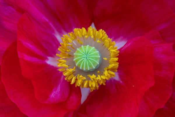 Bright Red and Pink Poppy