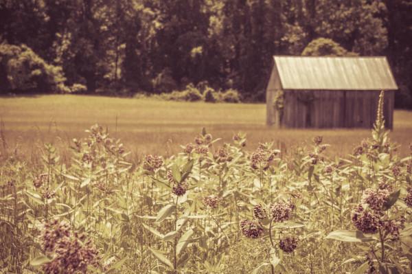 Old Barn Through Milkweed at Mount Calvert Plantation