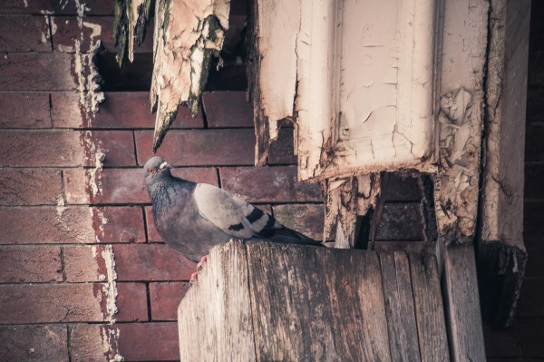 Pigeon Under the Eaves of an Abandoned Building in Baltimore City