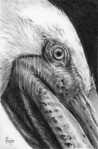 Brown Pelican study