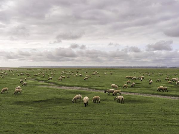 207 ovelhas