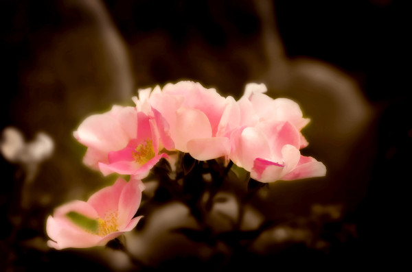 Canelo Minature Roses