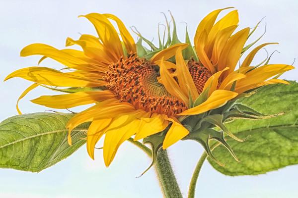 Sunflower 5275