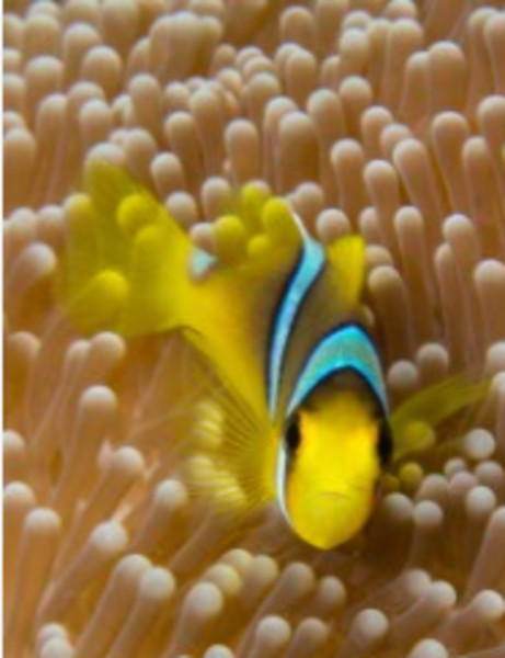 Hello There! (Clarks Anemonefish, Fiji)