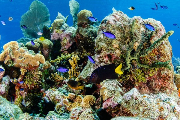 Yellowtail Damselfish & Friends, Little Cayman, Cayman Islands    (2)