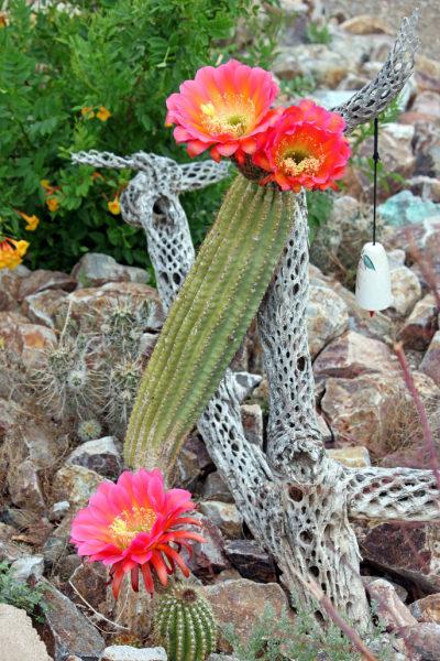 Red Argentine Hedgehog Cactus