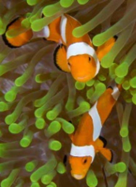 False Anemonefish, Wakatobi, Indonesia
